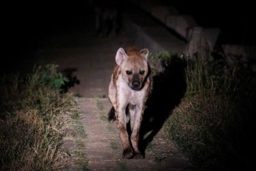 1 of 4 Hyena on Causeway by Dan B33