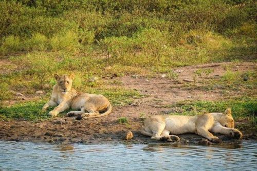 2 of Pride of 5 at Wildebeest Dam by Dan B33