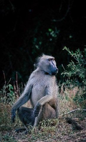 Alpha Male Baboon on Pels Loop by Dan B33