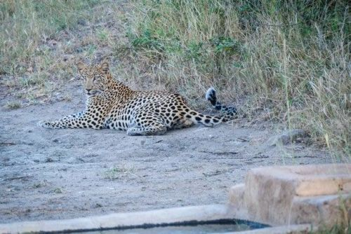 Female Leopard at Idube by Dan B33