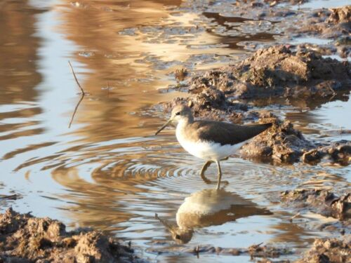 Green sandpiper @ Ndlovu dam by Roy A8