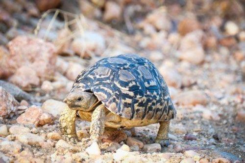 Leopard Tortoise by Dan B33