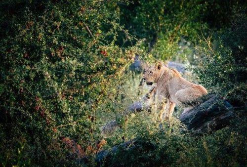 Lioness Climbing a Dead Tree by Dan B33