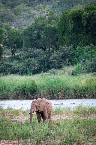 Lone Bull Feeding in the Olifants River by Dan B33