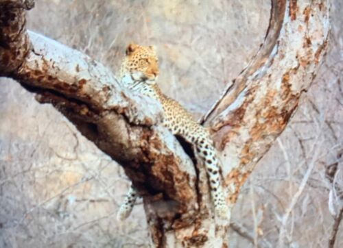 Marula Drive leopard by Roy A8
