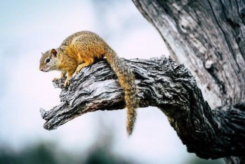 Tree Squirel by Dan B33