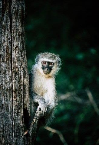 Vervet Monkey on Pels Loop by Dan B33
