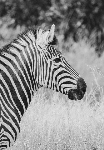 Zebra on Darasandi by Dan B33